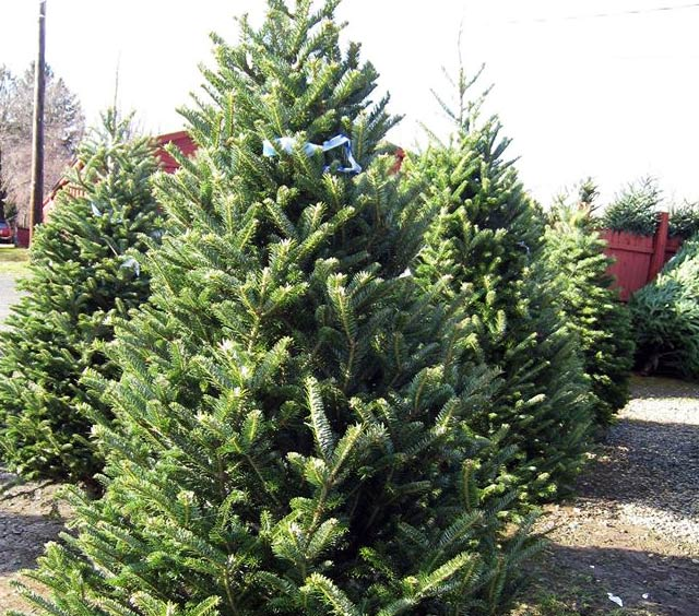 Christmas Trees at Stony Hill Farms