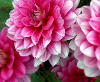 Dahlias: Annuals at Stony Hill Gardens