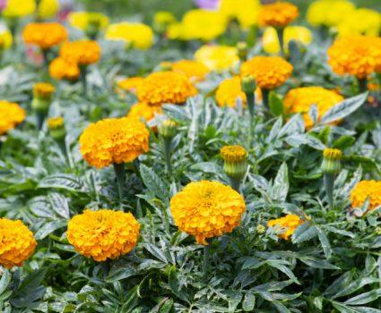 gardens-annuals-marigolds