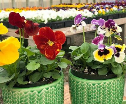 gardens-annuals-pansies-potted