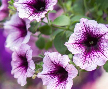 gardens-annuals-wave-petunias
