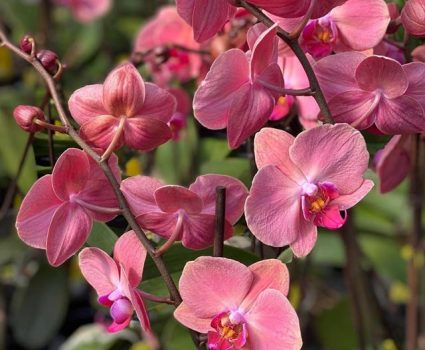 gardens-orchids-phalaenopsis-pink