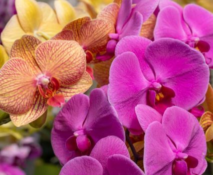 gardens-orchids-phalaenopsis-variety