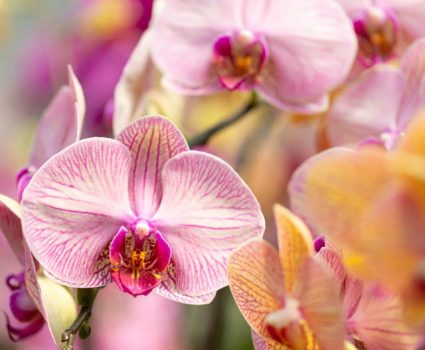 gardens-orchids-phalaenopsis-yellow-pink