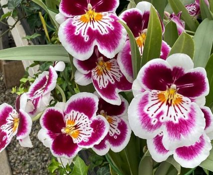 gardens-orchids-pink-white-yellow