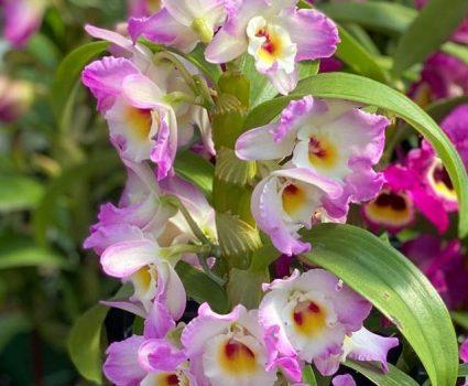 gardens-orchids-unique-varieties