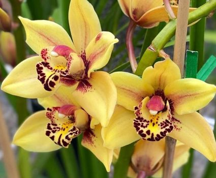 gardens-orchids-yellow-maroon