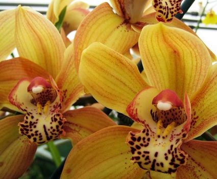 gardens-orchids-yellow-maroon-spotted
