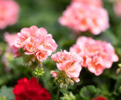 gardens-perennials-geraniums