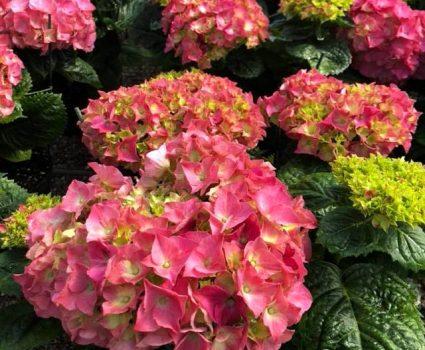 gardens-perennials-hydrangeas