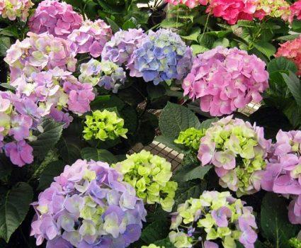 gardens-perennials-hydrangeas-variety