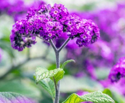 gardens-perennials-purple-blooms