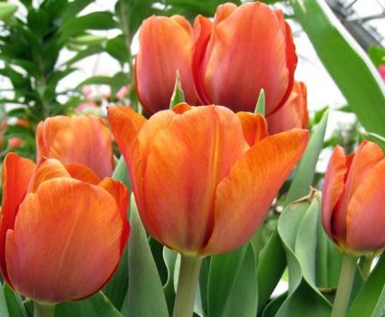 gardens-sping-tulips