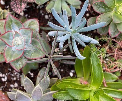 gardens-succulents