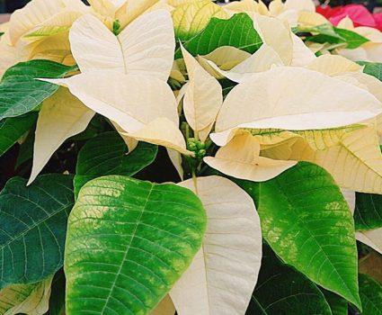 gardens-winter-poinsettias-white