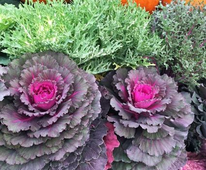 market-fall-kale-cabbage